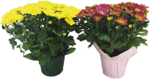 6 in. Potted Memorial Day Mums product image.