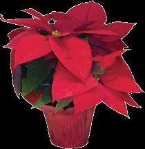 Poinsettias product image.